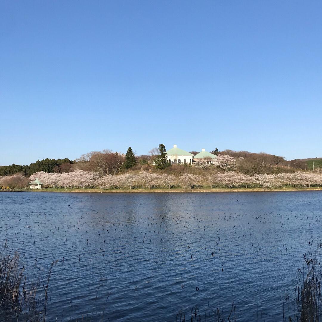 平筒沼公園。水辺から見る桜。 東北もどんどんと桜が咲き始めました。...