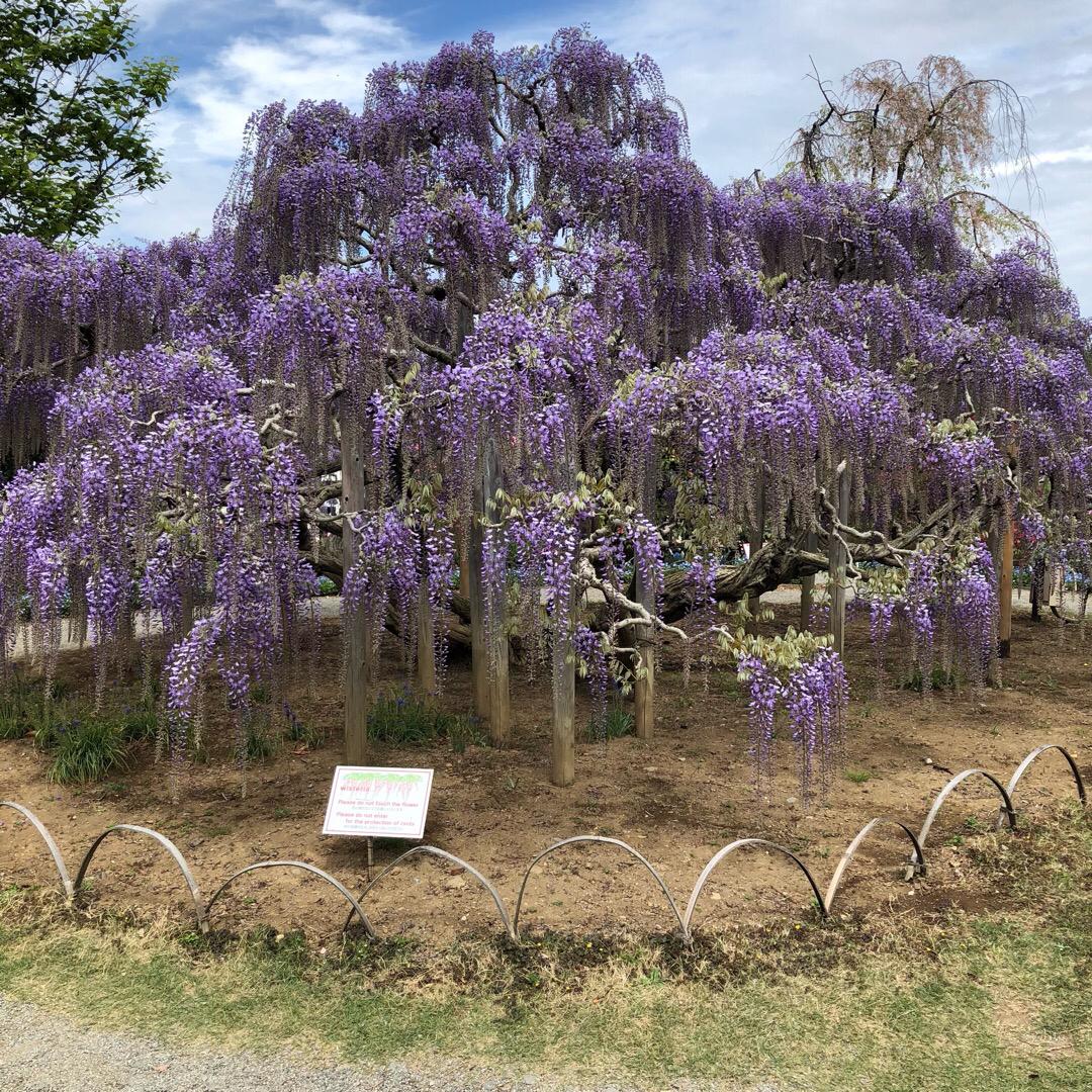 こっちの木は棚がないタイプ 皆さん自撮りで花と一緒に写してました。