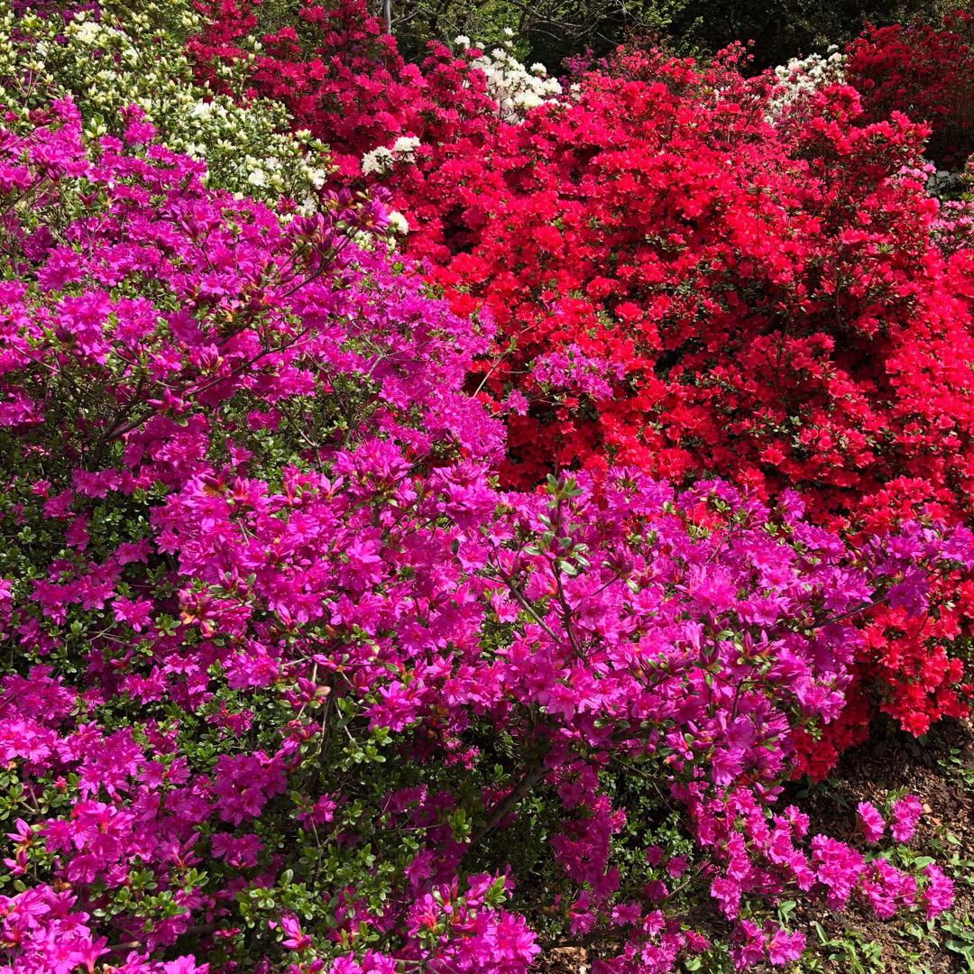 サツキも満開です。 しかもまだ八重桜も咲いている。 花壇はかわいい...