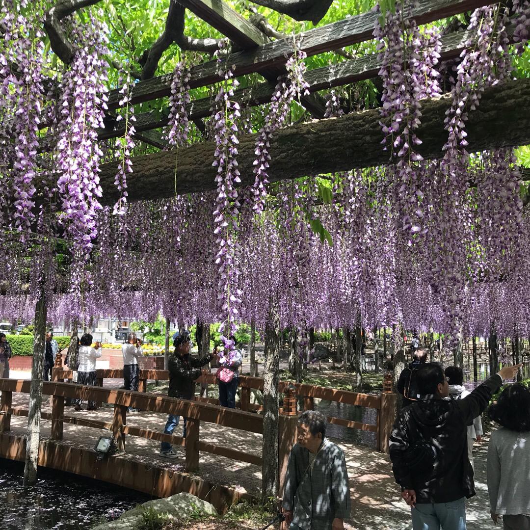 藤を見に行ってきました! 愛知県津島市にある天王川公園。 4月27...
