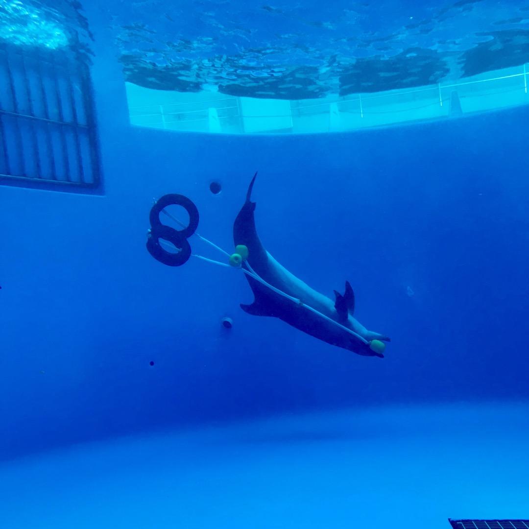 九十九島水族館海きらら。イルカ。 イルカといえばショーですが、中に...