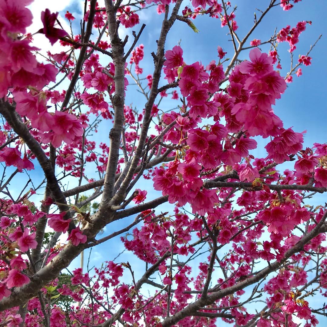 寒緋桜。梅が咲いていると思ったら桜でした!桜といえば薄ピンクのソメ...