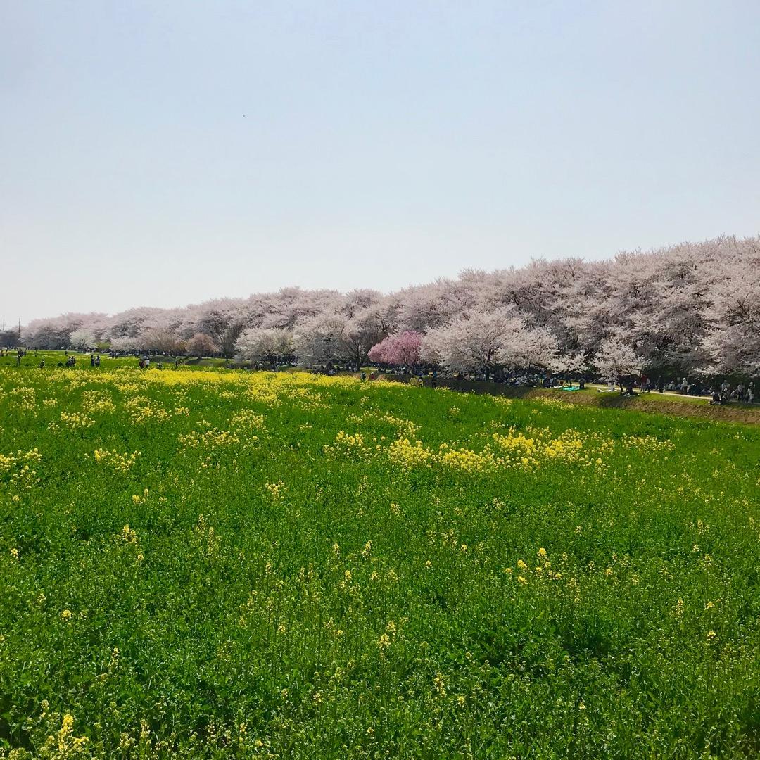 権現堂公園。1キロにも続く桜の並木は端から端までずっと桜で圧巻でし...