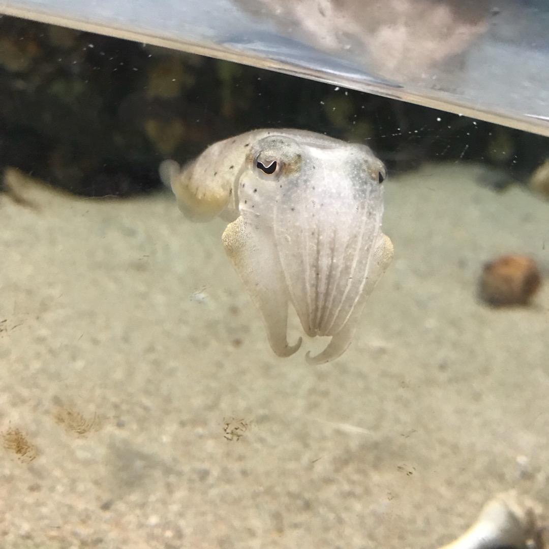 玉野海洋博物館。カミナリイカの子供。 こちらの水族館ではカミナリイ...