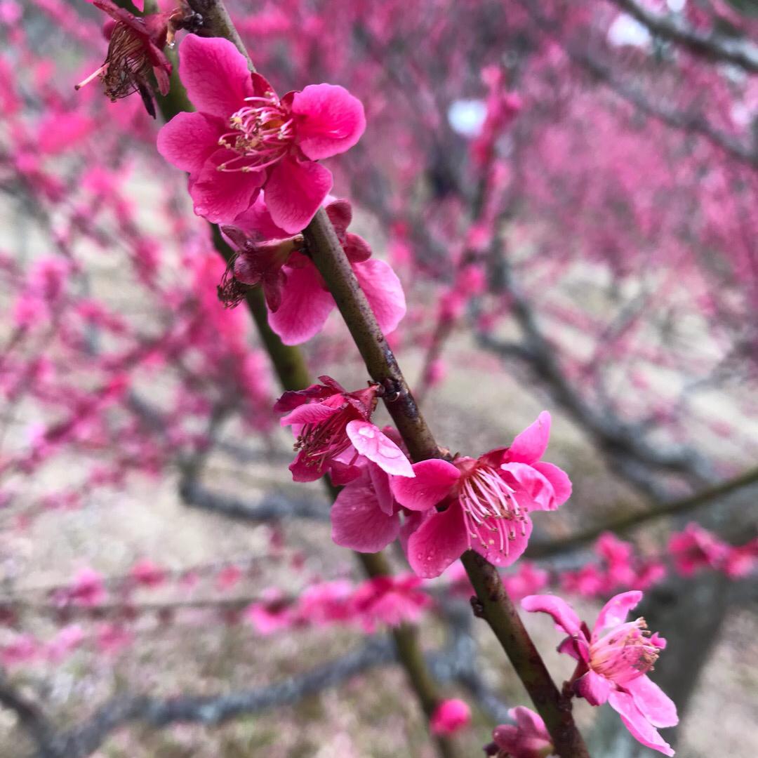 . . 菅原神社⛩梅まつり 地元では「天神さん」と呼ばれているそう.