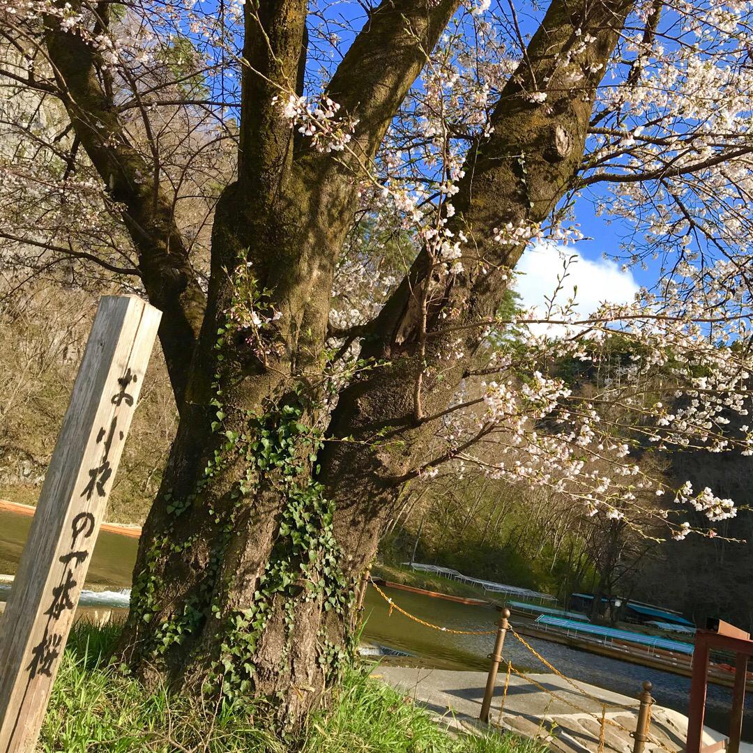 お小夜の一本桜。 猊鼻渓の船着場に1本の可憐な桜の木がありました。...