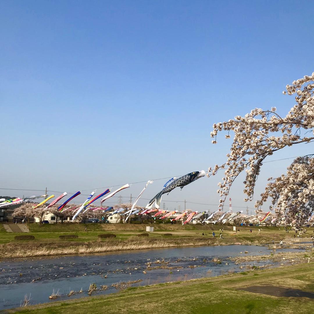 相川水辺公園。鯉のぼりと桜。 たくさんの鯉のぼりが風ではためいてい...
